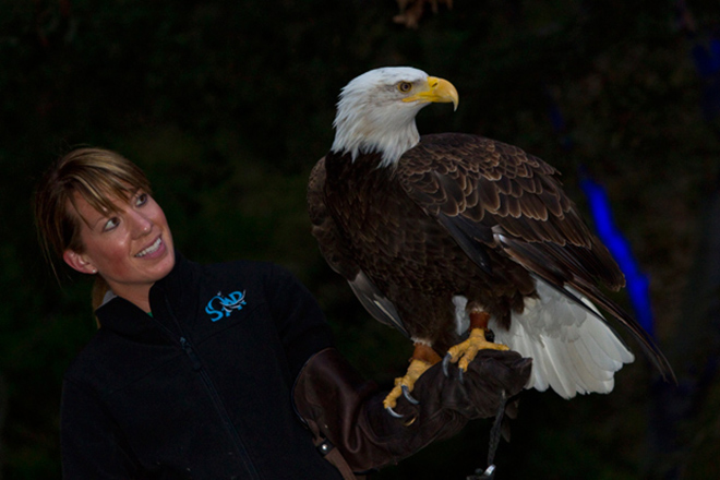Bald Eagle, night time at the zoo ; credit San Diego Zoo