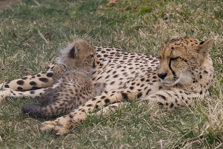 Cheetah & cub at the National Zoo, Washington DC Family Attractions