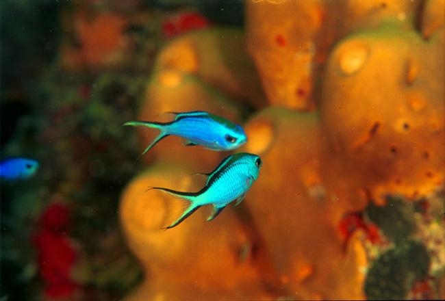Chromis enjoying the reef