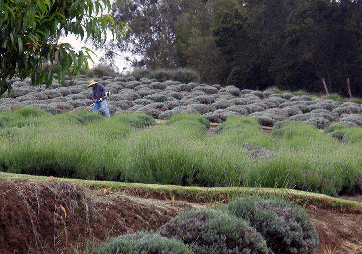 Ali'i Kula Lavender Farm worker toiling the field, Touring the Land of Purple Flowers