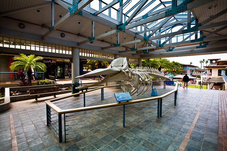 Maui Ocean Center whale skeleton