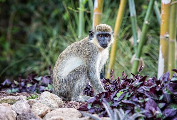 monkey, Nevis Eco-Travel