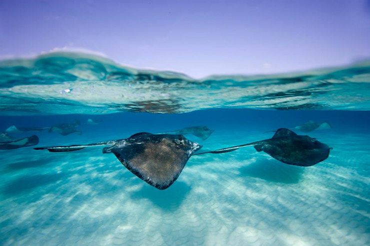Stingray City off Grand Cayman Island Beaches