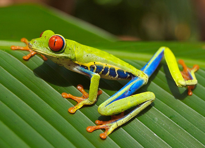 Red-eyed tree frog common to Costa Rican National Parks